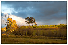The final hour (cupitt1) Tags: orange tree dead solitary golden light sky broody moody country paddock sunset hour winter sun