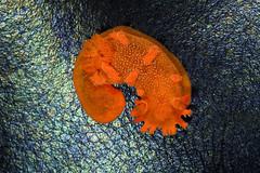 The Spotted Sea Slug (matt knoth) Tags: rockpool tidepool tidepools macro monster creature mollusk nudibranch slug sea spottedtriopha