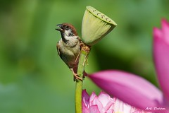 _52R4508 (Dream Delivered (Dreamer)) Tags: lotus flower bird sparrow ngc npc peace onlythebestofflickr 8peaceadminschoice thebestofmimamorsgroups level8peaceadminschoicefinaldestination photozonebestof pictureparadisefinall5 passionforphotographylevel5final bestofphotozone pictureparadisel5 nature'splus