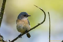 Female Western Bluebird (lhc005) Tags: bird westernbluebird female thrush