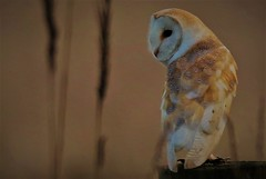 Barn owl    Tyto alba (GrahamParryWildlife) Tags: barnowl owl perched talons post pattern uk tenterden kent small hythe grahamparrywildlife kentwildlife canon 7d mkii sigma sport 150600