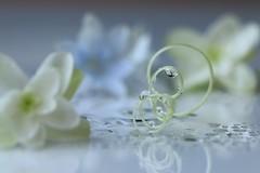 A dream of Hydrangea 2 (keiko*has) Tags: 7dwf friday flora droplet drip hydrangea bittergourd tendril ゴーヤ 紫陽花 水滴 鏡