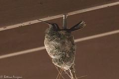 Blue-throated Hummingbird (female adult on nest) | South Fork | Portal | AZ|2017-07-11|11-14-44.jpg
