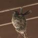 Blue-throated Hummingbird (female adult on nest) | South Fork | Portal |