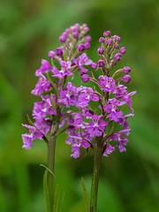 Platanthera psycodes (Small Purple Fringed orchid) (jimf_29605) Tags: platantherapsycodes smallpurplefringedorchid blueridgeparkway northcarolina olympus e5 sigma 105mm olympus14xteleconverter yanceycounty mtmitchellstatepark