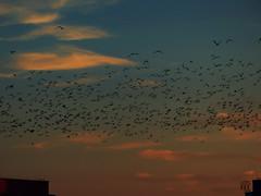 flying birds at sunset (Ola 竜) Tags: birds sunset sky clouds skyscape horizon buildings roofs flying animald dark silhouettes flight nature sundown blue orange golden cloud
