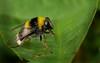 Hummel-Gebirgsschwebfliege (Arctophila bombiformis), Holzwarchetal bei Mürringen, Ostbelgien (Frank.Vassen) Tags: hoverfly ostbelgien holzwarche mürringen holzwarchetal diptera schwebfliege syrphidae arctophilabombiformis arctophila bandadbjörnblomfluga gebirgsschwebfliege hummelgebirgsschwebfliege