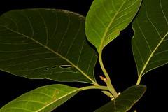 Litsea bindoniana (andreas lambrianides) Tags: litseabindoniana lauraceae tetrantherabindoniana roundleavedbollywood roundleafbollywood australianflora australiannativeplants australianrainforests australianrainforestplants australiannativeflowers australianrainforestflowers arfflowers arfp qrfp