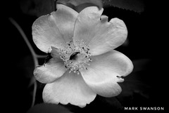 Wildflower (mswan777) Tags: detail flower wildflower michigan outdoor nature flora insect black white petal leaf nikon d5100 sigma 70300mm texture closeup