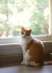 Otis by the window (rootcrop54) Tags: otis dilute orange ginger tabby male masked cat kitchen counter window naturallight neko macska kedi 猫 kočka kissa γάτα köttur kucing gatto 고양이 kaķis katė katt katze katzen kot кошка mačka maček kitteh chat ネコ