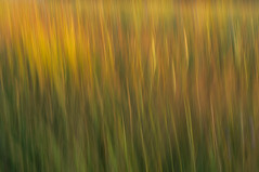 Golden Grasses (craig_schenk) Tags: swipe warm warmlight warmmorninglight golden goldenhour field grass grasses backlight backlighting longexposure icm impression impressionism iprressionistic painterly sunny flora long fleur red nature naturephotography nikond300 nikon green art light sun summer yellow orange garden
