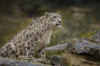 Bergleopard