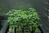 cannabis (Daladys) Tags: cannabis weed hemp green canon eos 600d grow climacell diploma thesis