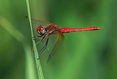 Sympetrum fonscolombii (kozoga) Tags: odonata odonato sympetrumfonscolombii libélula