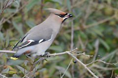 HNS_1012 Pestvogel : Jaseur boreal : Bombycilla garrulus : Seidenschwanz : Bohemian Waxwing