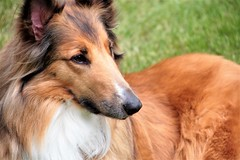 Bella... (catherine4077) Tags: dog pet front royal bella collie
