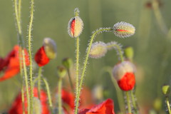 Poppies born in morning light (Xtraphoto) Tags: poppy poppies mohn mohnblumen klatschmohn red rot flowers blumen light bokeh morgenlicht morning licht tau morgentau