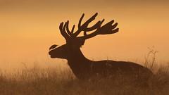 Being nosey (Hammerchewer) Tags: reddeer deer stag starling wildlife animal outdoor
