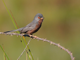 Toutinegra-do-mato // Dartford Warbler