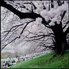 250 Days to Spring ([M!chael]) Tags: hasselblad 500cm carl zeiss planar 8028 t kodak e100vs film manual 120 6x6 mediumformat square japan kyoto sakura cherry 櫻花 slide