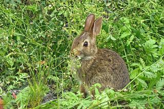 Jeune lapin à queue blanche en train de grignotter