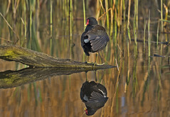 Moorhen - Boring? Take a closer look! (Ann and Chris) Tags: avian amazing birdwatching beak birding bird birders canon feathers gorgeous wildlife moorhen nature outdoors reflection stunning cute wings wild wildllife waterbirds waterbird water