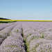 Landscape with lavender field at sunny day. Bulgaria