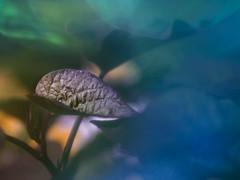 Süßkartoffel im Blumenkasten (Pe Wi) Tags: süskartoffel hartblei120mm nahlinse kwerfeldeinfolie ausprobierfreude experiment drausen natur