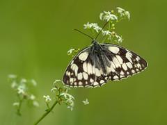 Marbled White (Damian_Ward) Tags: ©damianward buckinghamshire bucks naturereserve countryside rural astonclintonragpits butterfly butterflies lepidoptera macro marbledwhite melanargiagalathea