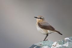 Culbianco - Northern wheatear (Attilio Piselli) Tags: wildlife northernwheatear culbianco bird avifauna passodellagardetta vallemaira oenantheoenanthe alps