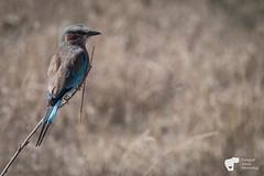 _JN15462 2 (Fotograf Jonas Nimmersjö) Tags: lilacbreastedroller mlimanisafari safari serengeti