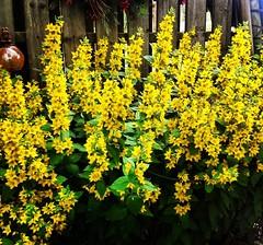 Allt är inte guld som glimmar 🌻🌻 för det kan även vara #praktlysing som blommar i våra trädgårdar denna tid på året 😊🌿  * * #blommor #Ekerö # #sommarblommor#flowers #30juni2017 #sverige #garden  #wrangelsväg #sweden #mälaröa (Per Ola Wiberg ~ Powi) Tags: instagramapp square squareformat iphoneography uploaded:by=instagram lofi