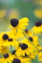 Black-Eyed Susan (MikaJC) Tags: longbloomingperennials flowers cheerfulcolor blackeyedsusan tamron60mm