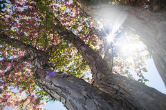 natural magic (KieraJo) Tags: canonef24mmf14liiusm l lens canon 5d mark 3 iii 5d3 fullframe dslr wide angle tree spring blossom pink below cool trunk branches leaves beautiful sun flare light bright pretty