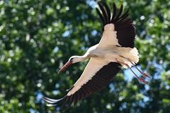 DSC_6872 (franckp64) Tags: volatili cicognabianca whitestork ciconiaciconia oasideiquadris fagagna fly volo uccelli bird avifauna