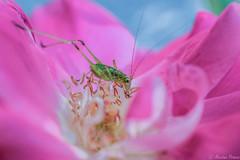 🌹 (martinap.1) Tags: nikon nature nikond3300 natur nikon40mmmacro heuschrecke flower green grasshopper grashüpfer garten rose rosa rosenblüte plant pflanze pink makro macro blume blossom blüte blumen