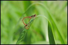 DSC_9164 -06-08-1 -Ceriagrion tenellum (r.zap) Tags: ceriagriontenellum libellula rzap parcodelticino