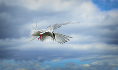 Tern (Nickerzzzzz - Thanks for stopping by :)) Tags: ©nickudy nickerzzzzz theartofphotography wwwdigittaliacom canoneos5dmarkiii ef50mmf18stm photograph seaswallow bird beak wildlife wings bif flight nature feathers animal outdoor sternaparadisaea arctictern farneislands