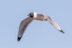 Franklin's Gull (Glenn R Parker) Tags: gulls
