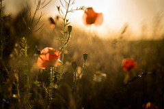 July (--Conrad-N--) Tags: flickr mohn poppies bokeh a7rm2 sony sunset field red wild plants hair july summer za zeiss