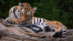 Tigers Nachtisch (mmsig) Tags: 2017 ausflug dusiburg zoo tiger groskatze portrait sibirischer amurtiger ussuritiger panthera tigris altaica katze
