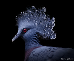 Victoria Crowned Pigeon (Steve Wilson - over 9 million views Thanks !!) Tags: nikon d7000 nikond7000 chester zoo chesterzoo bird avian nature wildlife papua newguinea large largest victoria crowned pigeon blue red beautiful black background blackbackground onblack indonesia islands