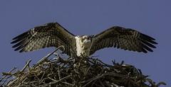 Any Day Now - Osprey (Brad Rangell) Tags: osprey raptor birdofprey bird fledgling nest sanjoaquinvalley california outdoors