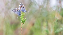 Heideblauwtje - Silver-studded blue (Wim Boon (wimzilver)) Tags: heideblauwtje struikheide canon100mmf28lismacro canoneos5dmarkiii utrecht holland nederland netherlands butterfly vlinder hoekzoeker macro macrofotografie natuur nature