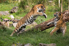 Attacke 1 (Mel.Rick) Tags: natur tiger siberiantiger sibirischertiger amurtiger raubtiere raubkatzen groskatzen zooduisburg tiere säugetiere dasha makar pantheratigrisaltaica