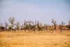Baobab (CIFOR) Tags: africa trees baobab burkinafaso dryforests environmentalimpact loagavillage horizontal climatechange dry cifor boulkiemdé centreouest bf