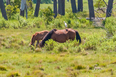 07082017-529-1 (bjf41) Tags: chincoteague horses wild herd colts