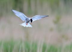 Common Tern (Gary Vause) Tags: sternahirundo staidans staidansrspb rspb tern birdinflight yorkshire swillingtonings garyvause