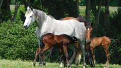 Chevaux en Normandie (PHMS69) Tags: cheval chevaux poulain