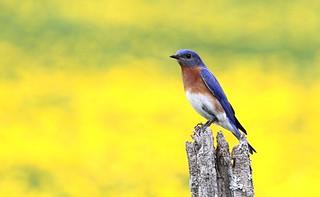 *** Merlebleu de l est / eastern bluebird
